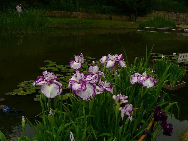 紫のハナショウブが美しい