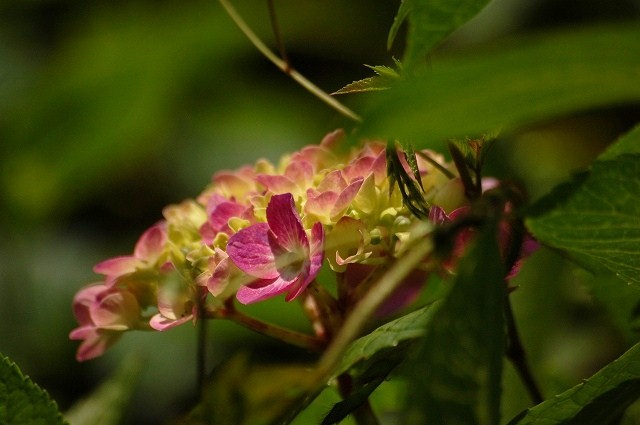 綺麗な色の紫陽花