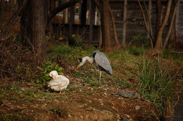 アオサギ、バリケン