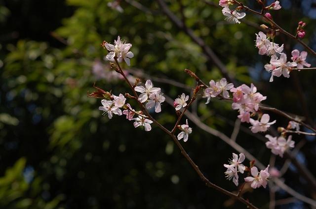 可愛い桜でした