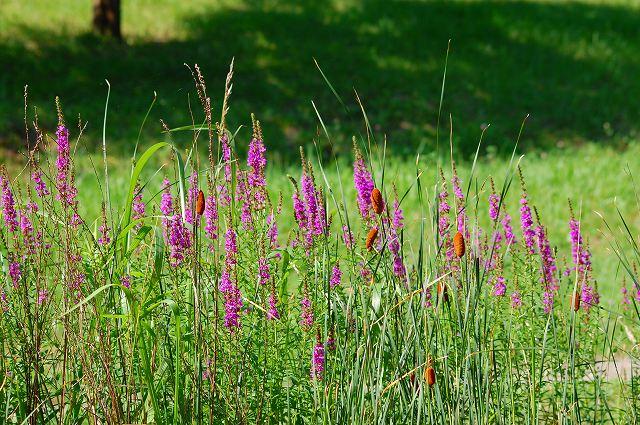 ミソハギの別名は盆花