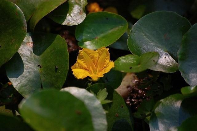 美しい花アサザ