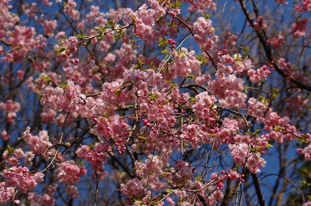 枝垂れ桜ですが・・・