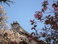 ソメイヨシノ&八重桜