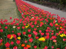 tulip1080409.jpg