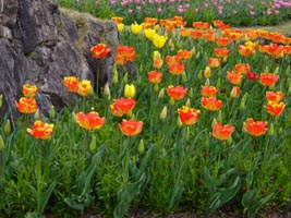 tulip2080409.jpg