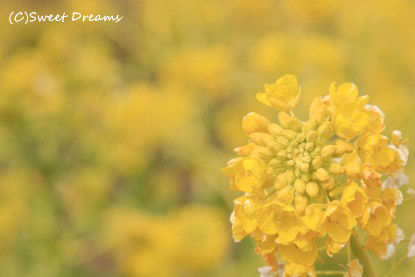 憧れの菜の花!