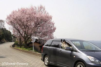 そしてまたまた桜発見☆