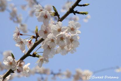 桜まだまだ見頃♪