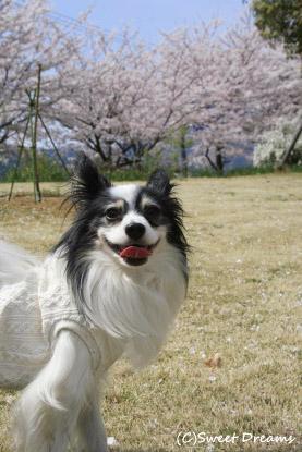 桜がキレイでした