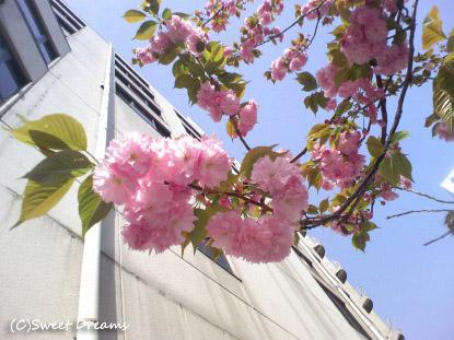 会社の裏の八重桜♪
