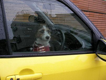 運転席の犬