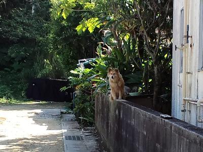 シーサー犬