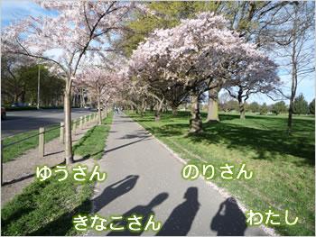 クライストチャーチの桜
