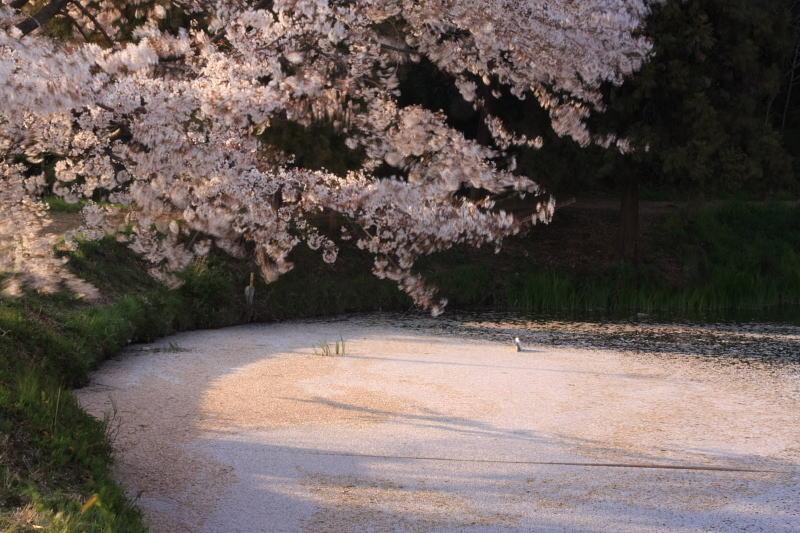 桜 また来年