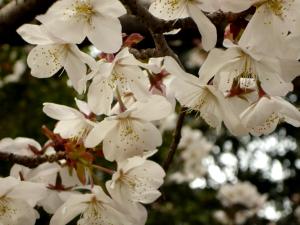 多分大寒桜