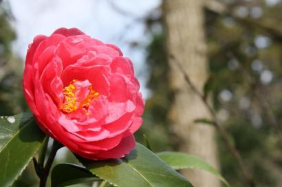 加茂の花・雪椿