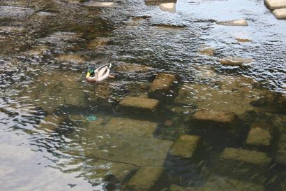 加茂川は穏やかな流れ