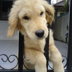 ぴぃを犬で