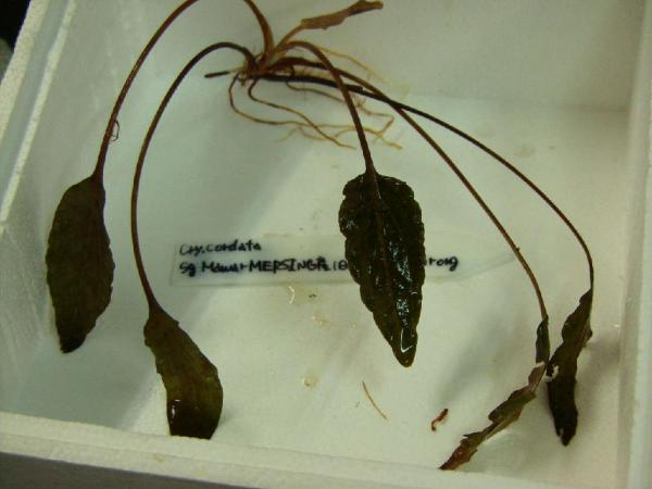 Cryptocoryne cordata Sg Mawar MERSING産(旧Gunung Arong )