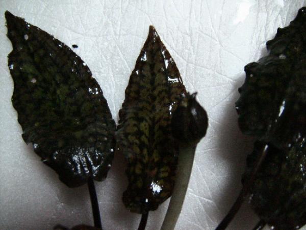 Cryptocoryne striolata Sg. Kerubong  葉