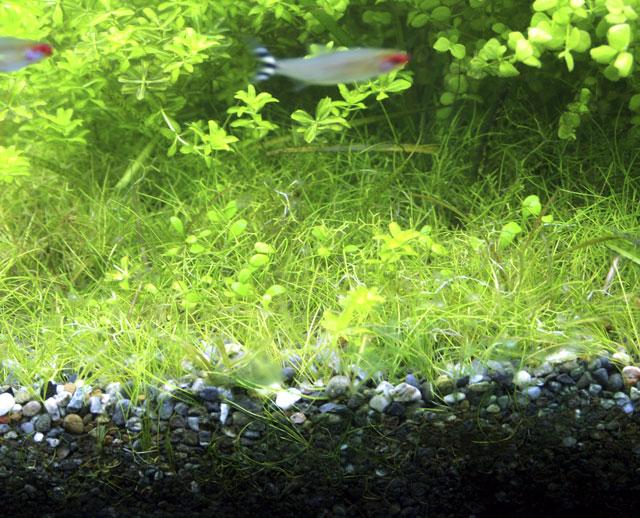 これが藍藻!