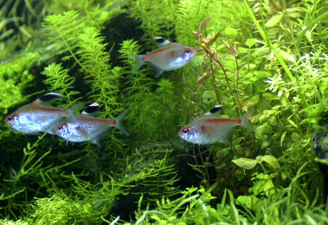 Diamond Red Perez Tetra
