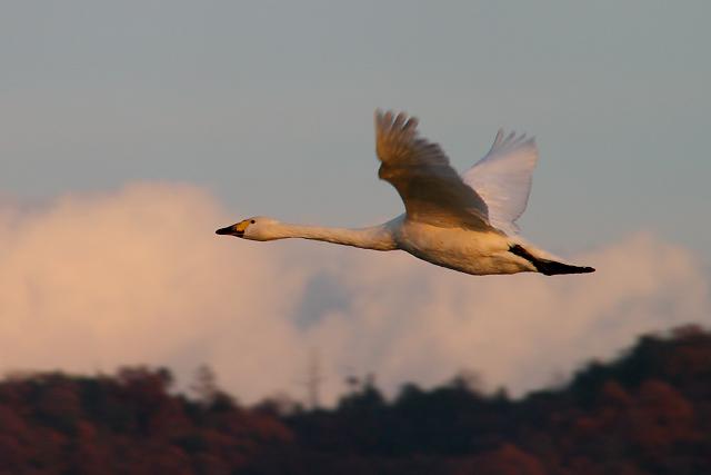 安来市野義平野~コハクチョウ 琥珀鳥