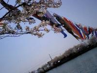 桜とこいのぼり!?