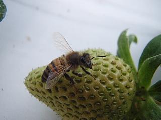 090131ミツバチ