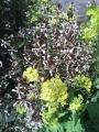 菜の花・ルッコラ
