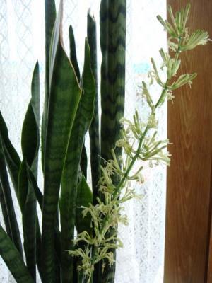 サンセベリアの花1