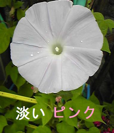 朝顔_2009_1