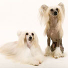 Chinese_Crested_Dog_detail2.jpeg