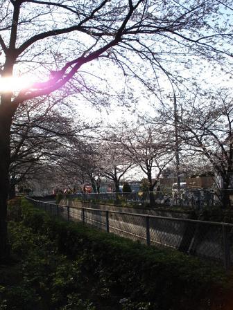 土手沿いの桜~