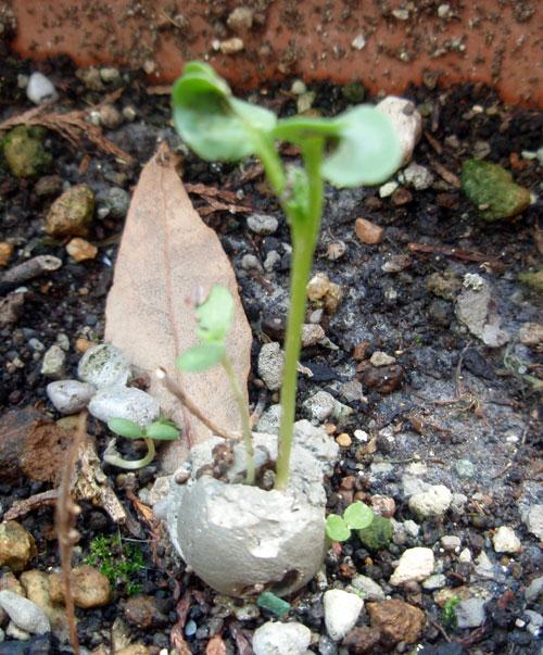 粘土団子から芽が出たよ!!粘土...
