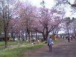 静内桜祭り