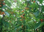 さくらんぼの木