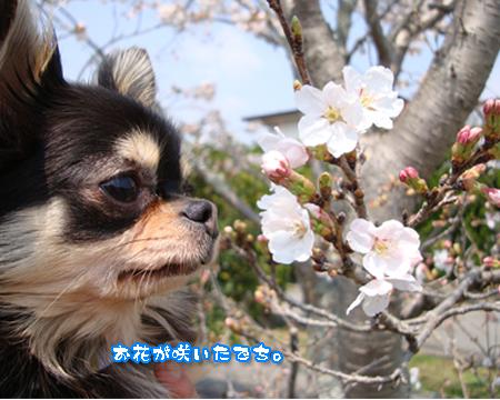 お花見・カシス