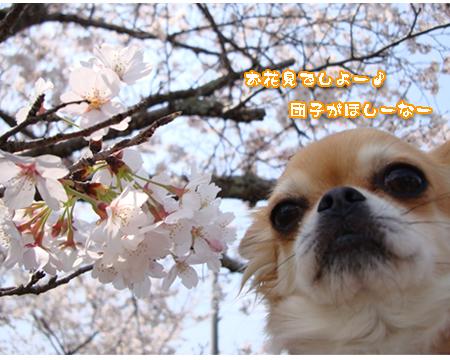 お花見・シフォン