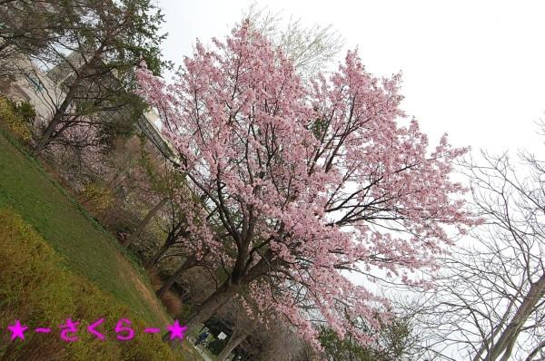 5.2 お散歩 桜