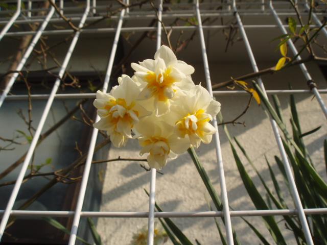 庭先の花 033