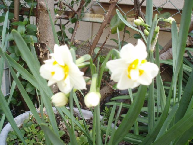 庭先の花 035