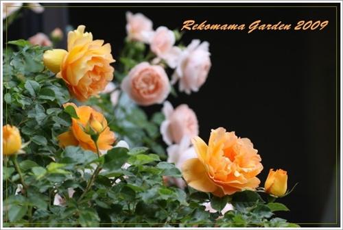2009 05 21 薔薇 018_1
