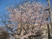 桜2009 200