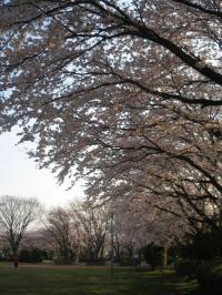 松葉町桜3