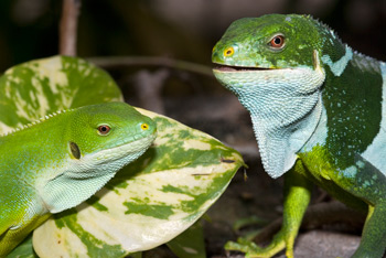 new iguanas in Fiji