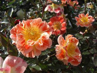 rose(orange)