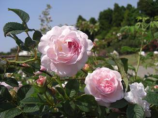 rose(old)