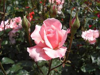 rose(pink)